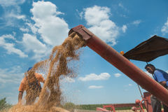 Wheat harvest Royalty Free Stock Photo