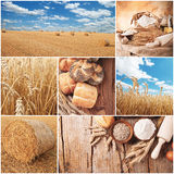 Wheat harvest concept Royalty Free Stock Image