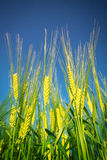 Wheat.Harvest concept. Wheat.Green Harvest on the blue sky concept Stock Photography