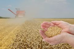 Wheat harvest concept, hands with crop. Agronomist or farmer  inspecting quality of wheat plant field during harvest, hands holding wheat Stock Photo