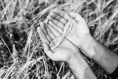 The wheat harvest. The ear of wheat in hands stock images