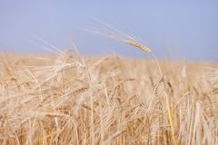 Wheat harvest. Ears of wheat are shaken on wind stock image