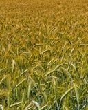 Wheat harvest field. Background image Royalty Free Stock Photography