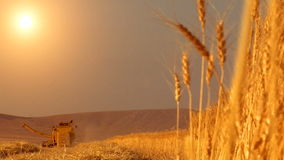 Wheat harvest field stock footage