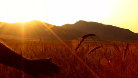 Wheat harvest field