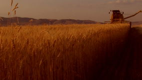 Wheat harvest field Stock Images