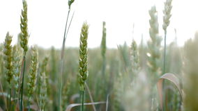 Wheat Harvest in Field at Sunset, Agriculture Land stock video footage