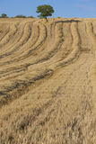 Wheat harvest, fields and landscapes Stock Photos