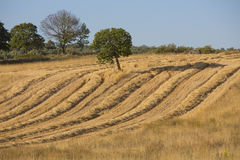 Wheat harvest, fields and landscapes Stock Photography