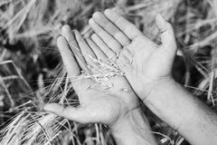 The wheat harvest. Wheat in the hands. Close-up stock photo