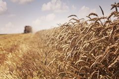 Wheat harvest Stock Image