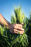 Wheat.Harvest pojęcie Obrazy Stock