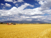 Wheat harvest in Slovakia royalty free stock photo