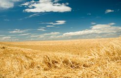 Wheat harvest time 2. Freshly cut ripe golden wheat or barley Royalty Free Stock Image
