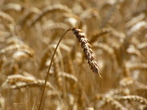 Wheat Harvest Time Stock Photography