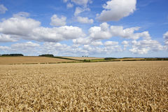 Wheat at harvest time Royalty Free Stock Image