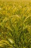 Wheat harvest in Ukraine in the summer under the sun. Wheat harvest in Ukraine in the summer stock image