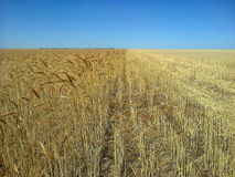 Wheat in Harvest Stock Photos