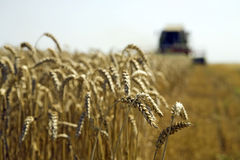 Wheat harvesting. Combine at wheat field is harvesting Royalty Free Stock Image