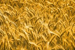 Wheat before harvesting Stock Photo