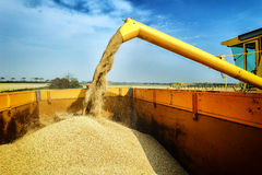 Wheat harvesting combine. At agricultural field Stock Photo
