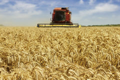 Wheat harvesting Stock Photo