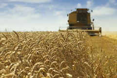Wheat harvesting Royalty Free Stock Photo