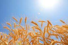 Wheat harvesting Stock Photography