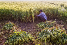 Wheat harvesting. A labor harvesting wheat crop in a field Royalty Free Stock Photo