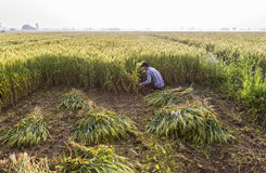 Wheat harvesting. A labor harvesting wheat crop in a field Stock Images