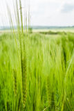 Wheat Head Stock Photo