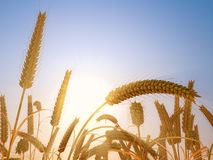 Wheat heads in fall bright sunset light. Agriculture background. 3D rendering Royalty Free Stock Photos