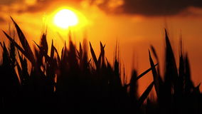 Wheat Heads Silhouette in Cultivated Agricultural Field in Sunset stock video