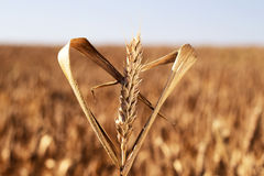 Wheat and Heart Stock Images