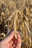 Wheat in human hand Royalty Free Stock Image