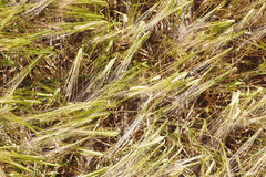 Wheat husks in field Stock Image