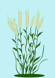 Wheat. Illustration of wheat ears with leaves Stock Image