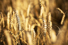 Wheat In Field Royalty Free Stock Image