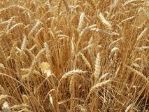 Free Wheat In Fields In Summer Season Royalty Free Stock Photo - 121374095