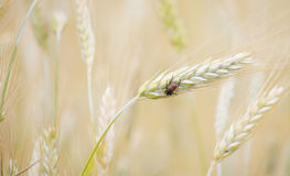 Wheat insect Stock Photos