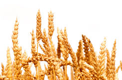 Wheat isolated. Ear of wheat isolated on white background royalty free stock photo