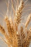 Wheat isolated Stock Image