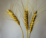 Wheat. Isolated wheat ears on a gradient background Royalty Free Stock Image