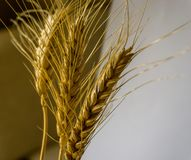 Wheat. Isolated wheat ears on a mixed background Royalty Free Stock Images