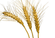 Wheat. Isolated wheat ears on a white background stock photo
