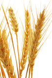 Wheat isolated over white background Royalty Free Stock Photo