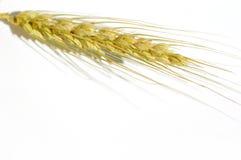 Wheat isolated on white. Wheat Royalty Free Stock Photos