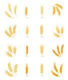 Wheat isolated on white background. Royalty Free Stock Image