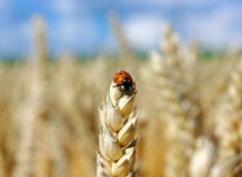 Wheat and ladybug Stock Images