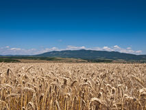 Wheat land background Royalty Free Stock Photography